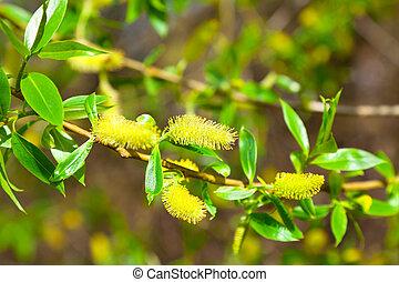 coup, saule, macro, salix, arbre., été, fleurir, caprea.