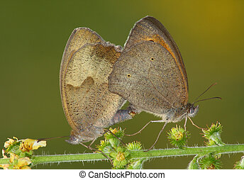 Couple butterfly (Satyrus ssp.)