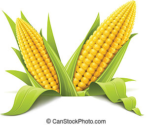 couple corncob vector illustration isolated on white ...