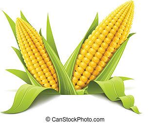 couple corncob vector illustration isolated on white background