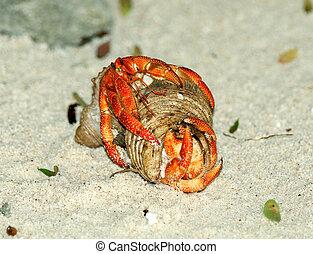 couple, crabe, copulation, ermite