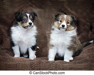 Couple cute sheltie puppies sitting on a sheepskin.