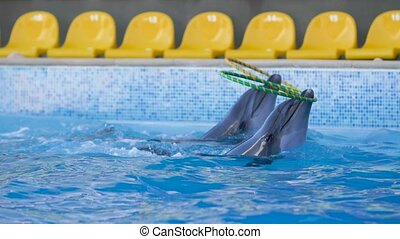 couple dolphins playing with a hula hoop have fun and splashing in water Good mood Cheerful dance