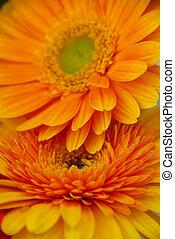 couple, fleur, gerbera, jaune, pâquerette