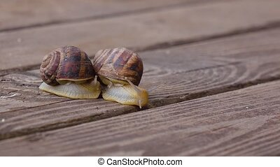 Couple garden snails mating life cycle of a snail - Pair of...
