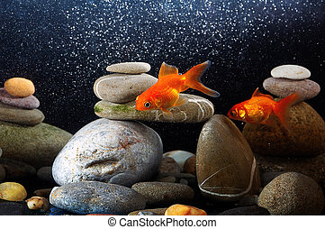 Couple goldfish in aquarium