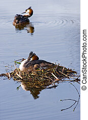 Couple Great crested Grebe in spring on nest with reflection in water
