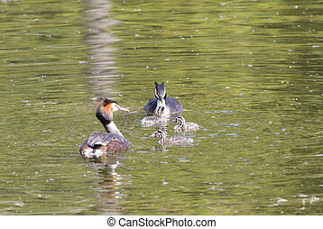 couple great crested grebe (Podiceps cristatus) with chick in the lake