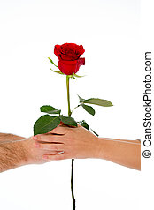 couple holding a red rose together on white background