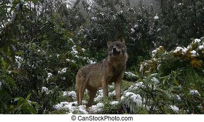 couple Iberian wolves among the snowy Mediterranean scrub