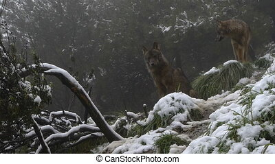 couple Iberian wolves - Iberian wolves couple on the rocks...