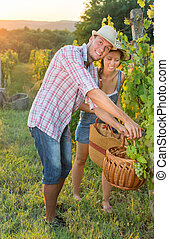 Couple in grape picking at the vineyard