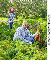 couple is picking carrot in field