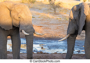 Couple of adult African Elephant facing each others at...