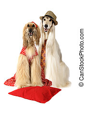 Couple of Afghan hound dogs sitting on white background