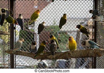 agapornis - couple of agapornis in the cage