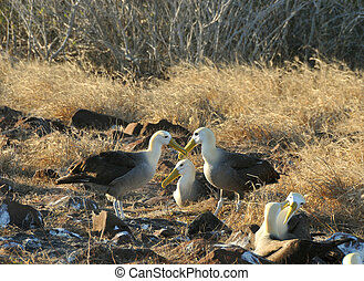 couple of albatross doing the mating dance