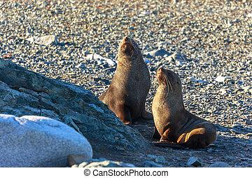 Couple of antarctic fur seals playing and barking at each other at Half Moon Island, Antarctic peninsula