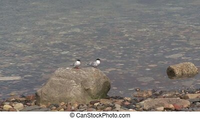 Arctic Tern - Couple of Arctic Terns sitting on a rock into ...