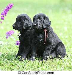 Couple of beautiful puppies of flat coated retriever