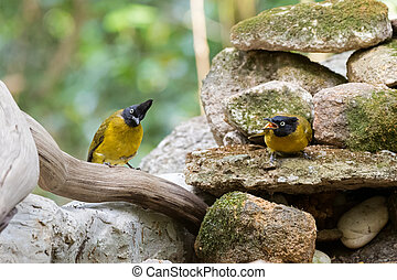 Couple of Black-crested bulbul bird in black yellow on stones with one screaming