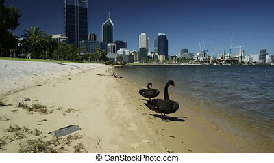 Couple of Black Swans