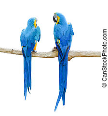 Couple of blue and yellow macaw parrots on branch isolated