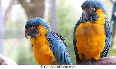 Couple Of Blue And Yellow Macaw Per
