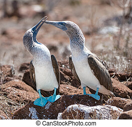 Marriage dances of Blue-footed Boobyis