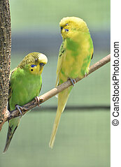 Couple of Bright Colored Budgies Sitting Together on a Branch