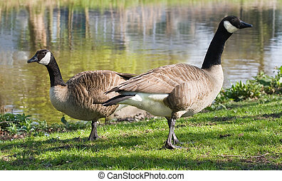 Couple of Canada- or Canadian geese at the waterside feeding with grass - horizontal