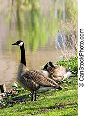 Couple of Canada geese at the waterside - Couple of Canada-...