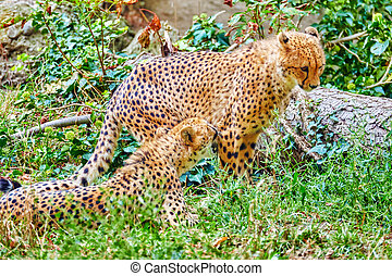 Couple of Cheetah (Acinonyx jubatus) is a big cat in the subfamily Felinae that inhabits most of Africa and parts of Iran.