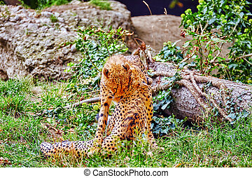 Couple of Cheetah play (Acinonyx jubatus)-is a big cat in the subfamily Felinae that inhabits most of Africa and parts of Iran.
