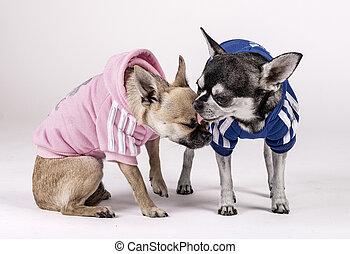 couple of Chihuahuas dogs kissing each other, dressed in blue and pink clothes