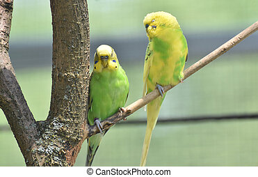 Couple of Common Parakeets Sitting on a Tree Branch