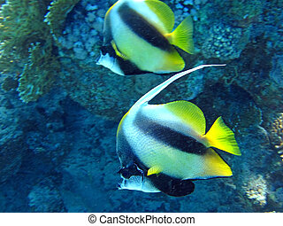 Couple of coral fish in blue water.