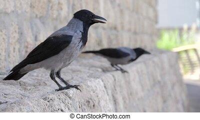 Couple of crows split. Loneliness concept shot clip