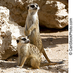 Couple of curious meerkats