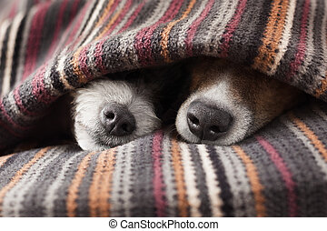couple of dogs in love sleeping together under the blanket ...