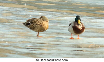 Couple of ducks on the verge of spring - Couple of ducks...