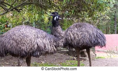 couple of emus together in closeup, popular flightless bird specie from Australia
