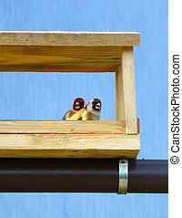 Couple of European goldfinches in the wooden feeder