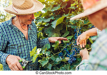 Couple of farmers checking crop of grapes on ecological farm. Happy senior man and woman gather harvest