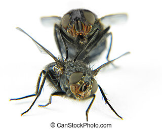 Couple of flies playing happy with white background