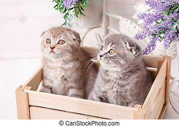Couple of funny Scottish kittens sitting in the wooden boxand and looking up