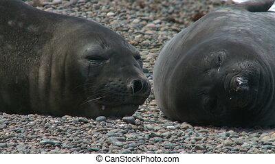 Couple of fur seals