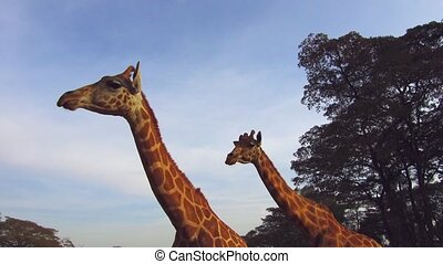 couple of giraffes in savannah at africa