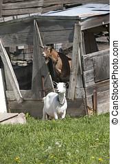 Couple of goats. - A couple of Boer goats near Hayden,...