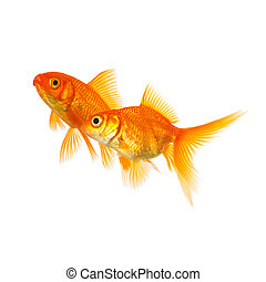 Couple of goldfishes in love - A group of goldfishes...
